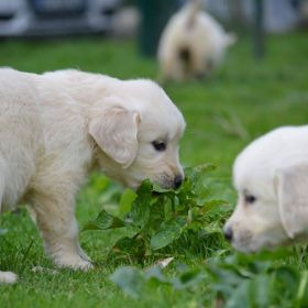 Le Golden Retrievers